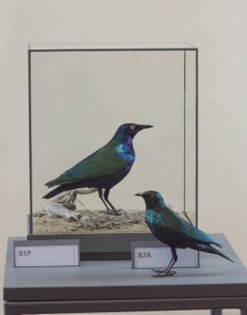 Greater Blue-eared Starling & Lesser Blue-eared Starling by Jack Fishwick