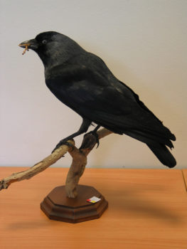 Jackdaw by Clair Fowler