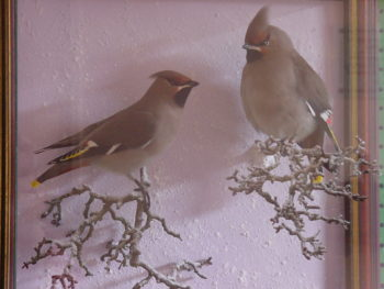 Waxwings by CM