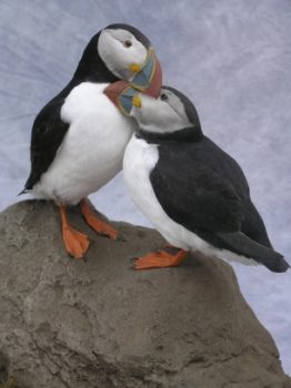 Puffins by Carl Church 2008