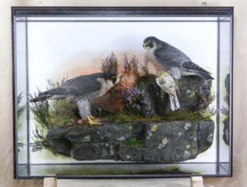 Peregrine Falcons by Mike Gadd 2011
