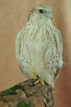 Gyrfalcon by Mike Gadd 2009