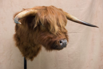 Highland Bull by Martin Bourne